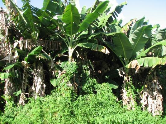 bananatrees